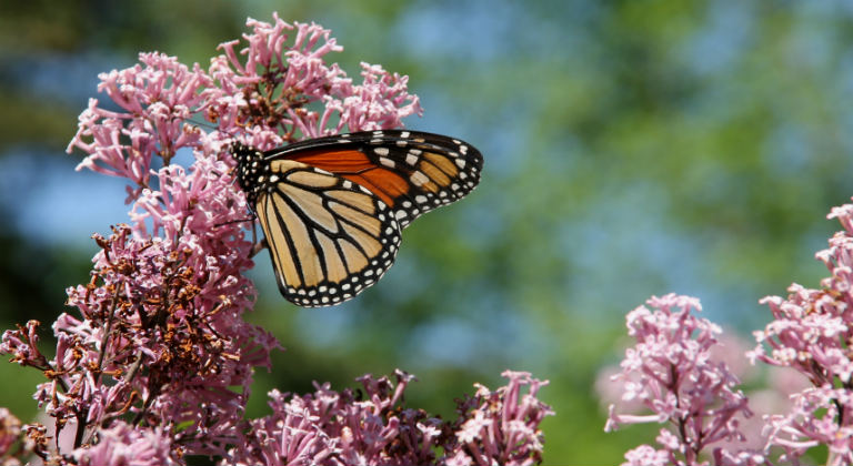 A monarch butterfly on lilacs.